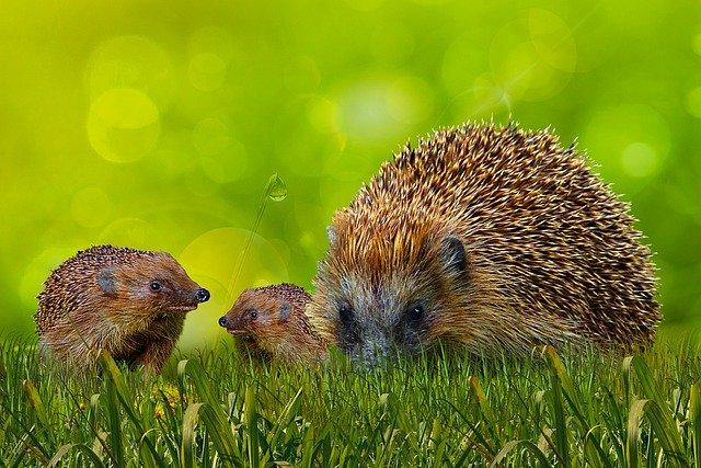 Igelfamilie (Bild von Gerhard G bei Pixabay)
