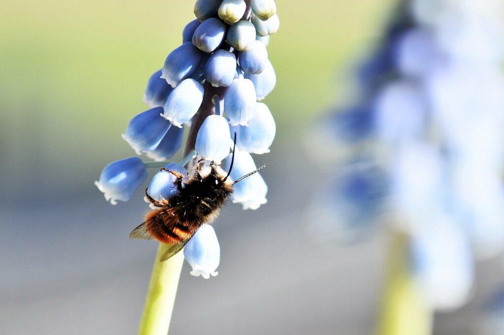 Mauerbiene an Blume
