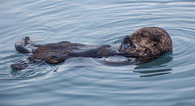 Fischotter entspannt auf dem Rücken schwimmend