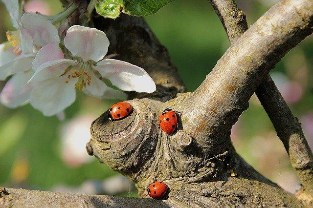 drei Marienkäfer am Baum
