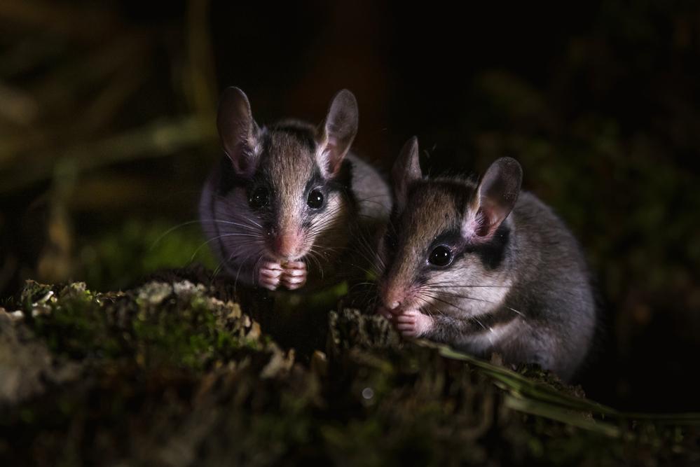 zwei Gartenschläfer suchen Futter (Copyright Karsten Birk)