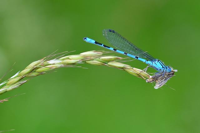 Libelle frisst eine Motte