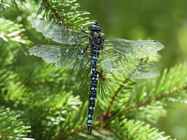 blau schwarze Libelle