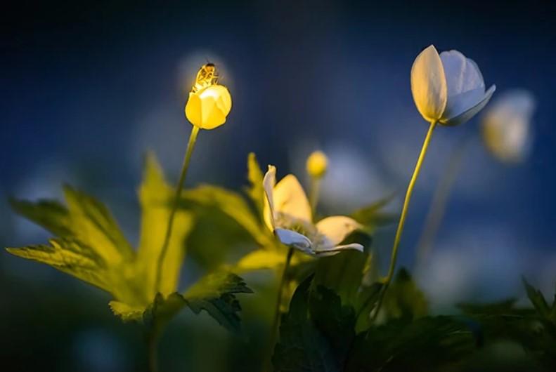 Glühwürmchen erleuchtet eine Blüte hell (copyright Radim Schreiber)