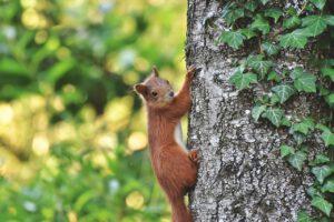 Eichhörnchen auf Bäumen