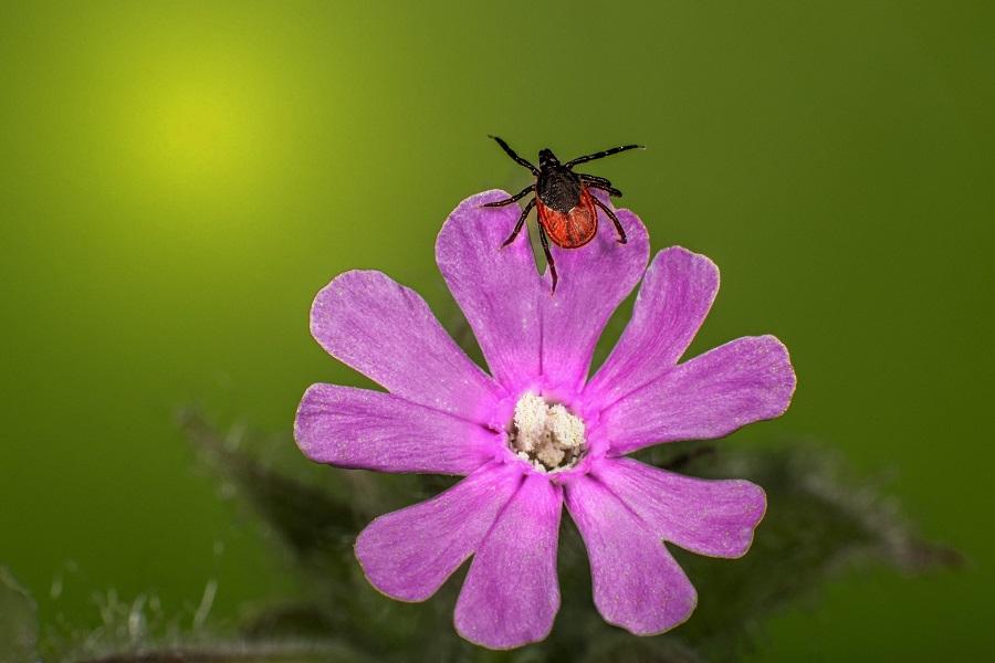 Eine Zecke liegt auf der Blume - so kannst du dich vor Zecken schützen