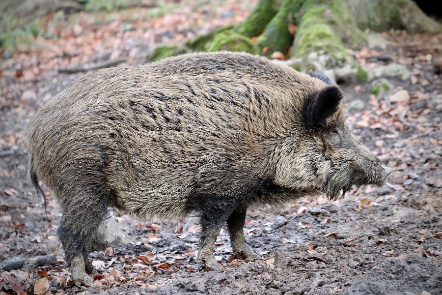 Begegnung mit einem Wildschwein