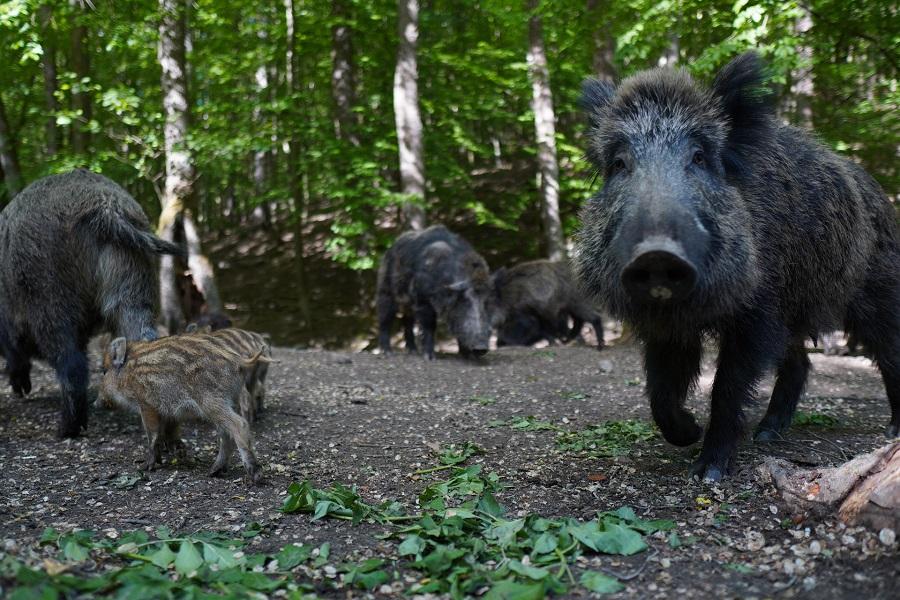 Wie gefährlich ist ein Wildschwein