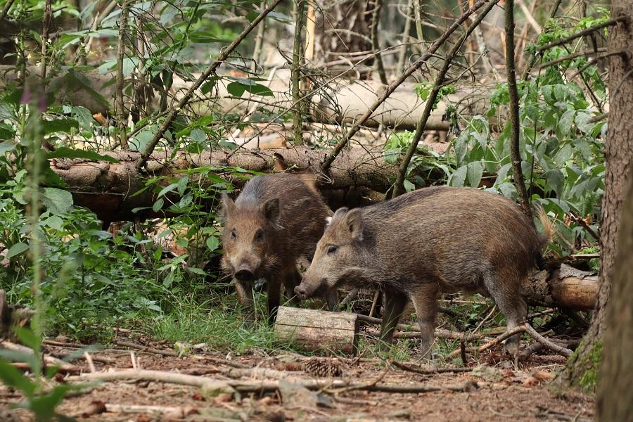 Wildschweine im Wald - vorsichtig fahren