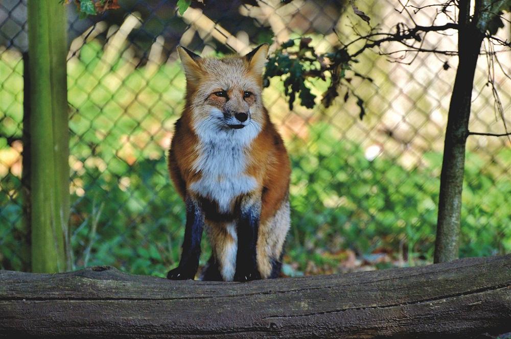 Wildtiere in der Stadt, Fuchs