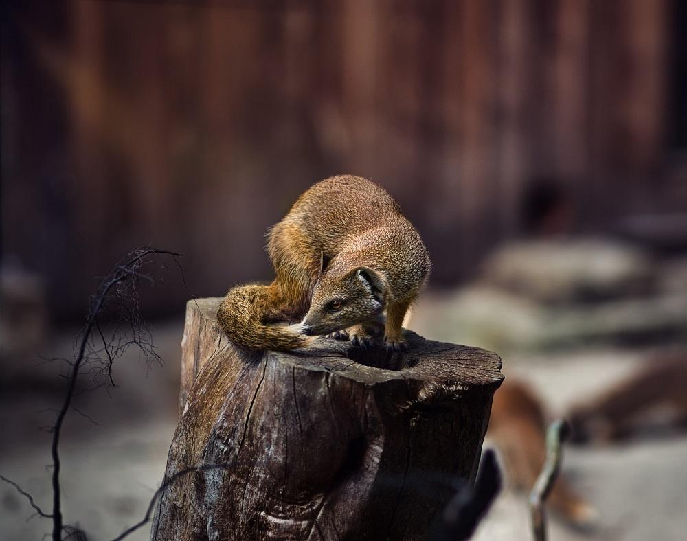 Wildtiere in der Stadt, Marder
